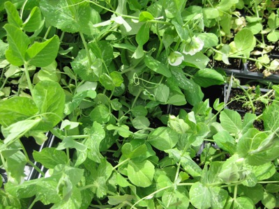 Give Peas a Chance – Back to the Garden